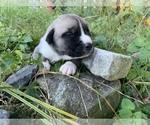 Puppy 4 Great Pyrenees-Siberian Husky Mix