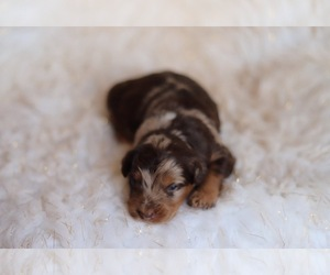 Australian Shepherd-Poodle (Miniature) Mix Puppy for Sale in NORTH VERNON, Indiana USA