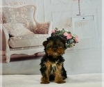 Puppy 6 Yorkshire Terrier