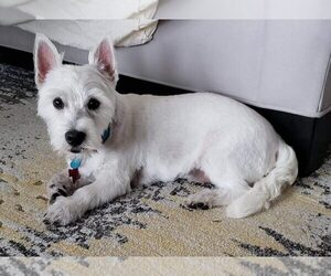 Westie-Laso Dog for Adoption in PFLUGERVILLE, Texas USA
