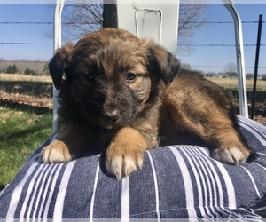 Australian Shepherd-German Shepherd Dog Mix Puppy for sale in DOSS, MO, USA
