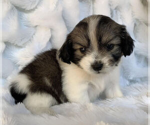 Mal-Shi-Maltese Mix Puppy for Sale in SAN FRANCISCO, California USA
