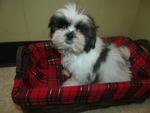 Zuchon Puppy For Sale in PATERSON, NJ, USA