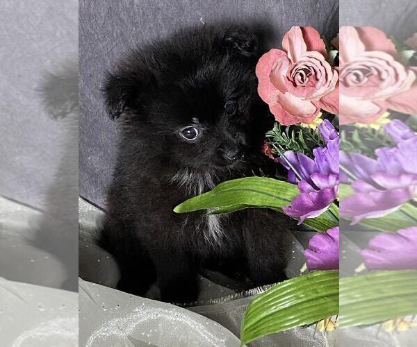 Medium Photo #1 Pomeranian Puppy For Sale in MOUNT CLEMENS, MI, USA