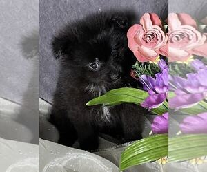 Pomeranian Puppy for Sale in MOUNT CLEMENS, Michigan USA