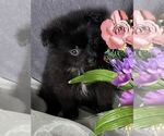 Small Photo #1 Pomeranian Puppy For Sale in MOUNT CLEMENS, MI, USA