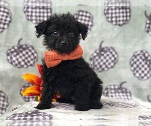 Morkie-Poodle (Miniature) Mix Puppy for sale in LAKELAND, FL, USA