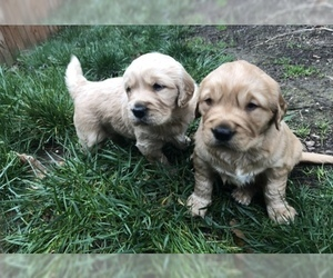 Golden Retriever Puppy for sale in SALEM, OR, USA