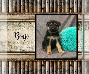 German Shepherd Dog Puppy for sale in ARTHUR, IL, USA