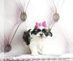 Puppy 4 Maltese