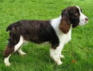 View Ad: English Springer Spaniel Puppy for Sale, Oregon, LEBANON, USA