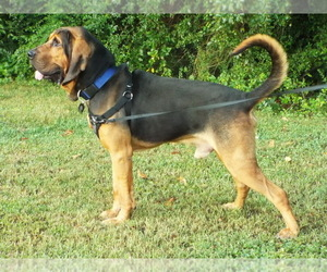 Bloodhound Puppy for Sale in HIXSON, Tennessee USA