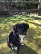Miniature Australian Shepherd Puppy For Sale in MILL CREEK, WA, USA