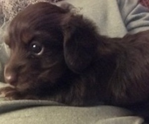 Dachshund Puppy for sale in NEOSHO, MO, USA
