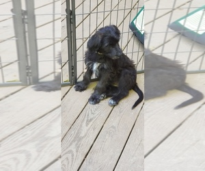 Aussiedoodle-German Shepherd Dog Mix Puppy for Sale in LOUISA, Virginia USA