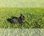 Small Photo #11 French Bulldog Puppy For Sale in CAPE CORAL, FL, USA
