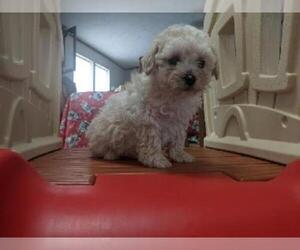 Cantel Puppy for sale in SPENCER, TN, USA