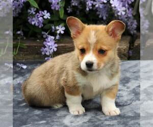 Pembroke Welsh Corgi Puppy for sale in EAST EARL, PA, USA