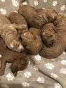 Goldendoodle Puppy For Sale in TIFFIN, OH, USA