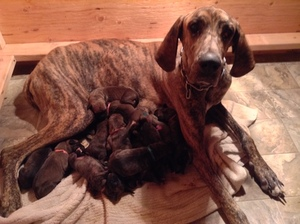 Great Dane Puppy for sale in CALHAN, CO, USA