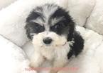 Shih-Poo Puppy For Sale near 90638, La Mirada, CA, USA