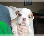 Puppy 12 English Bulldog
