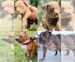 American Pit Bull Terrier Puppy for sale in SANFORD, FL, USA
