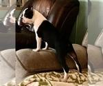 Small #1 Boston Terrier