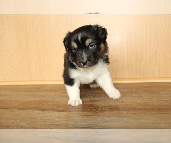 Medium Photo #12 Australian Shepherd Puppy For Sale in CARMEL, IN, USA