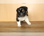 Small Photo #12 Australian Shepherd Puppy For Sale in CARMEL, IN, USA