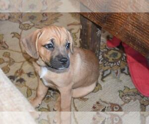 Frengle Puppy for sale in AMISSVILLE, VA, USA