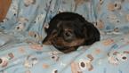 Yourkshire Terrier