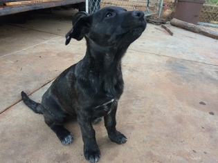 View Ad Cane Corso German Shepherd Dog Mix Puppy For Sale