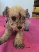 Schnauzer (Miniature) Puppy For Sale in AVON, CT,