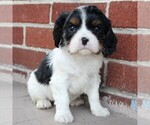 Small Photo #1 Cavalier King Charles Spaniel Puppy For Sale in LANCASTER, PA, USA
