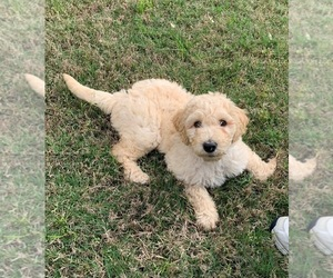 Labradoodle Dog for Adoption in MAGNOLIA, Texas USA