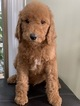 Goldendoodle-Poodle (Standard) Mix Puppy For Sale in RICHMOND, IL, USA