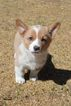 Pembroke Welsh Corgi Puppy For Sale in COLORADO SPRINGS, CO, USA