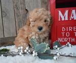Small #4 Poodle (Miniature)