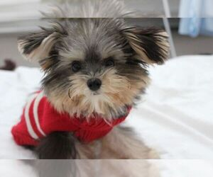 Yorkshire Terrier Dogs for adoption in AUSTIN, TX, USA