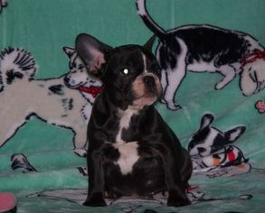 French Bulldog Puppy For Sale in LYNCHBURG, VA