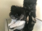 Pomeranian Puppy For Sale in SAN DIEGO, California,