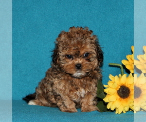 Shih-Poo Puppy for sale in QUARRYVILLE, PA, USA