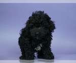 Puppy 15 Poodle (Toy)