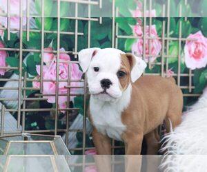 English Bulldog Puppy for sale in MARIETTA, GA, USA