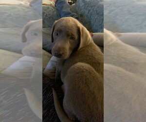 Labrador Retriever Puppy for Sale in LEASBURG, Missouri USA