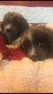 Newfoundland Puppy For Sale in NEOSHO, MO, USA