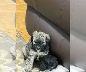 Shih-Poo Puppy for sale in DINWIDDIE, VA, USA