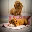 Dachshund Puppy For Sale in ROANOKE, VA, USA