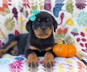 Rottweiler Puppy for sale in CEDAR LANE, PA, USA